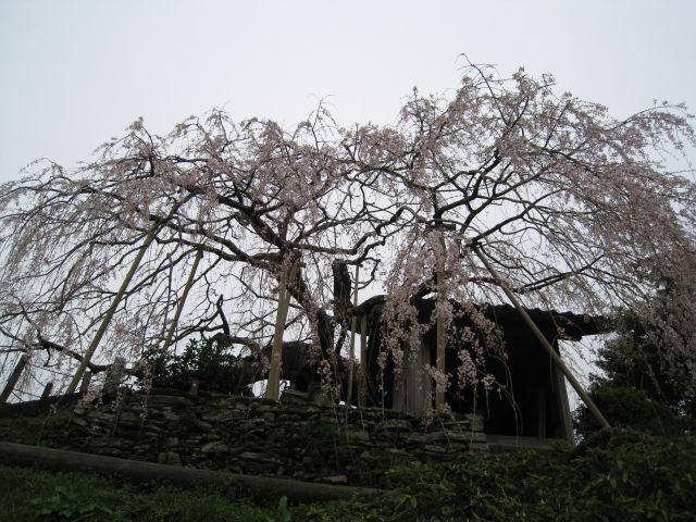 内子のしだれ桜