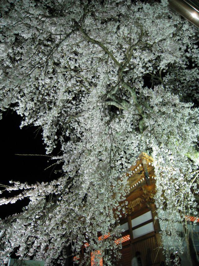 夜桜見物。